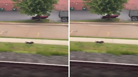 Very fast pup races the train every single morning
