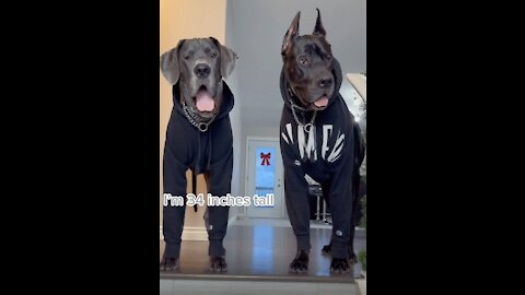Living With Two Great Danes!