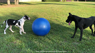 Funny Great Danes Play With Jumbo Horse Jolly Ball