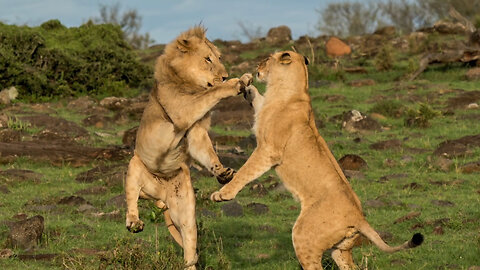 Dramatic Scenes As Lioness Takes On A Lion... But Who Wins?