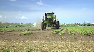 California farmers are destroying their own crops