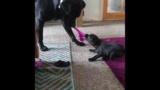 Determined puppy plays tug-of-war with much bigger dog