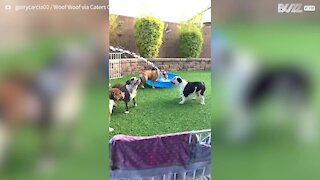 Six bulldogs happily play with water