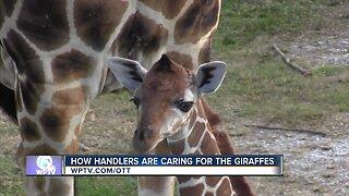 Watch the Giraffe documentary