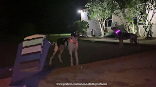 Five Great Danes With Light Up Collars Check Out Potensic Drone Night Flight