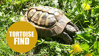 Britain's hardest tortoise escapes from home - by smashing through a BRICK WALL