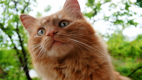 Fluffy ginger cat plays in the garden