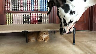 Funny Cat Plays Hide And Seek With Great Danes