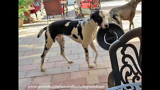 Funny Great Dane Would Rather Eat His Sombrero Than Wear It