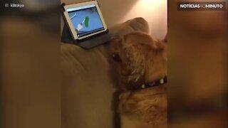Cão adora ver séries no Ipad