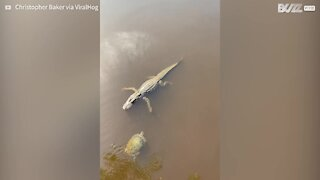"""Turtle and alligator """"high five"""" each other"""
