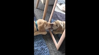 Curious puppy discovers reflection in the mirror