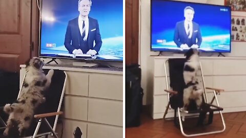 Aussie puppy wants to stay up-to-date with current events