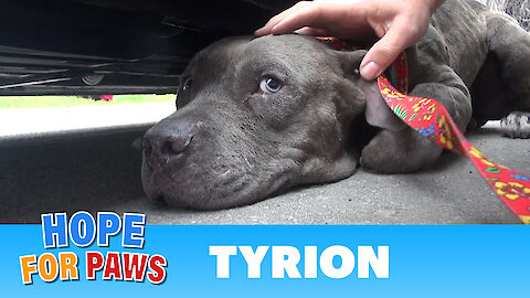 Tyrion - An injured Pit Bull rescued a moment before disaster. Please share.