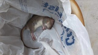 Littleton townhome owners say their complex is overrun with rats