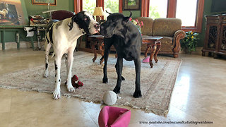 Great Dane puppy can't get enough of play time