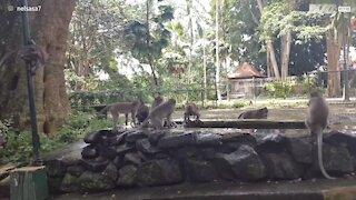 Monkeys have fun in Bali