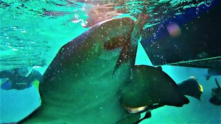 Incredible footage from the middle of a shark feeding frenzy