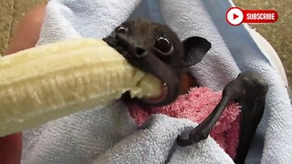 Bat Eating a banana will Make you Smile. If you're having a bad day