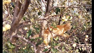 Red cat on the Apple tree