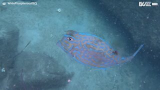 Impressionante: Peixe-vaca muda de cor!