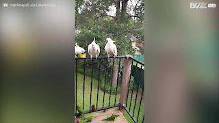 Homem recebe diariamente visita de bando de aves incríveis