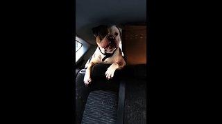English Bulldog howls along to sound of passing sirens