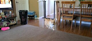 Just another corgi day