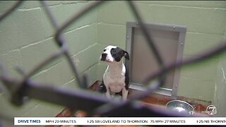Denver City Council is considering changing the pit bull ban