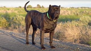 Bane - The 165lbs Family Guard Dog   BIG DOGZ