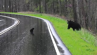 Mamma Bear Encourages Spring Cubs To Cross The Road