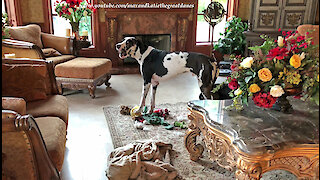 Howling Great Dane sounds just like a T-Rex