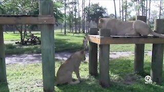 Atlas and Mara turn one on Sunday at Lion Country Safari