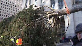 Rockefeller Center tree erected in NYC