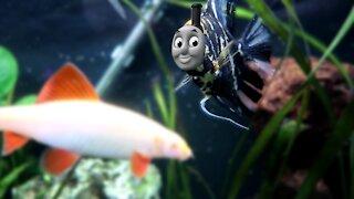 Thomas the Tank Engine Theme song played my Angelfish Fish