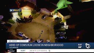 Cows run loose in Los Angeles-area neighborhood