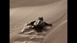 Baby turtles race to the sea in Florida