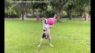 Happy Great Dane Loves To Catch And Fetch His Jolly Ball