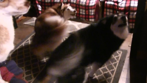 Excited Malamutes spin in perfect unison for breakfast