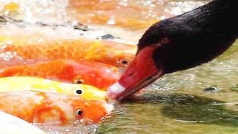 Swan feed fish !!!