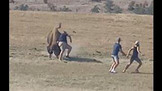 Wild Bison Shunts Tourist