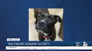 Frauline the dog is up for adoption at the Baltimore Humane Society