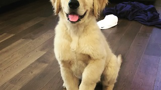9-week-old puppy already knows lots of tricks