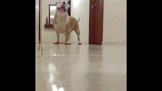 Pitbull Plays Catch