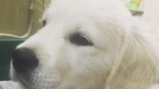 Puppy is totally confused by the sound of her own hiccups