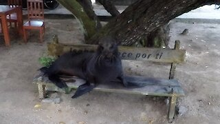 Bull sea lion sneezes at tourist from his perch on the park bench