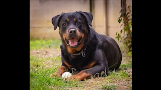 Rottweiler love to take caresses