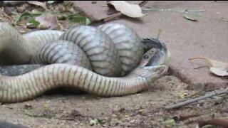 Ekstremt giftig slange sloss i Australia