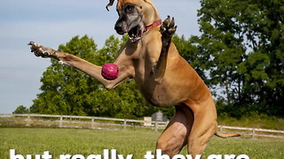Great Danes Are Big Dogs