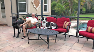 Happy Great Danes Enjoy Relaxing On Their New Lanai Loveseat